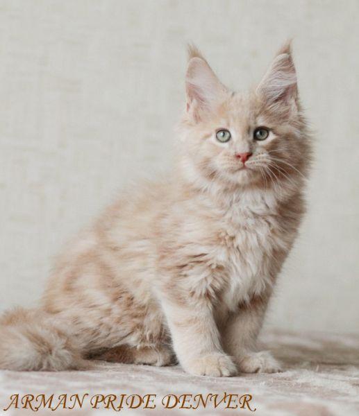 кремовый мейн кун фото котенок легкий бриз прячется